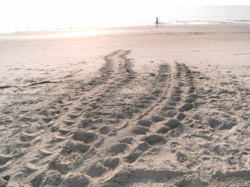 a turtle crawl on tybee island ga