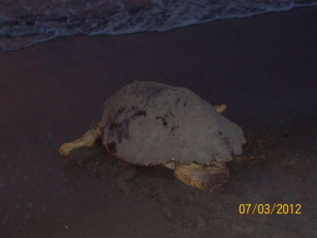 Sea Turtle Nesting Season in Tybee Island GA