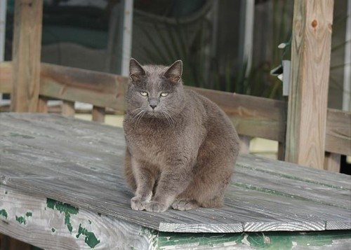at gray tybee island cat on the porch